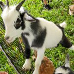 Our beautiful petting zoo animals love kids